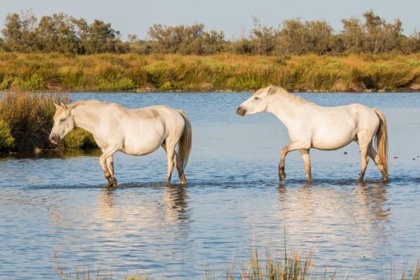 chevaux_camargue